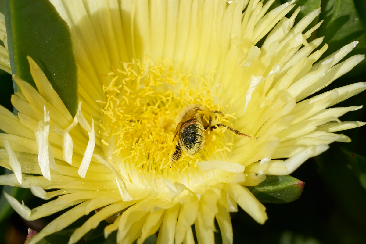 This Bee Is Coated In Pollen On His Abdomen Note That Not The Same Species As Bees Later Photos There No Sac Rear Legs